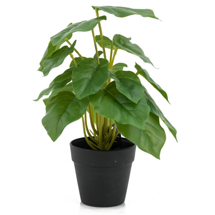 Dieffenbachia bush in pot